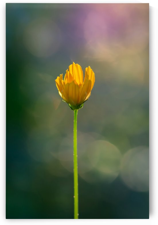 Bud yellow cosmos flower by Krit of Studio OMG