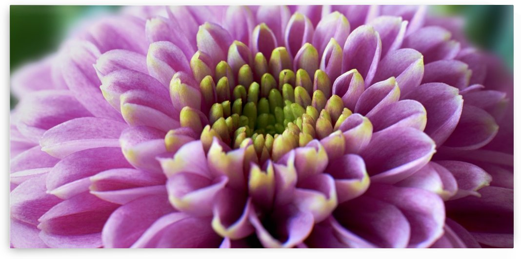Chrysanthemum by Adrian Brockwell