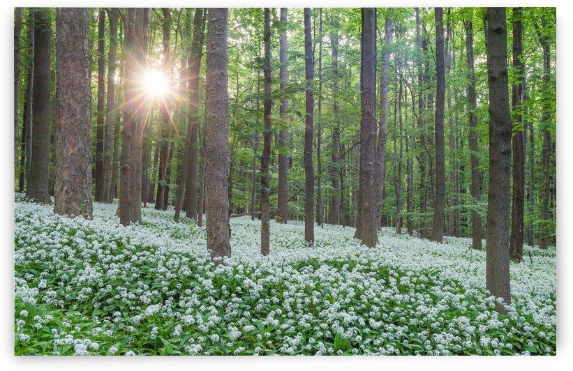 Wild Garlic Flowers Nationalpark Harz by Patrice von Collani