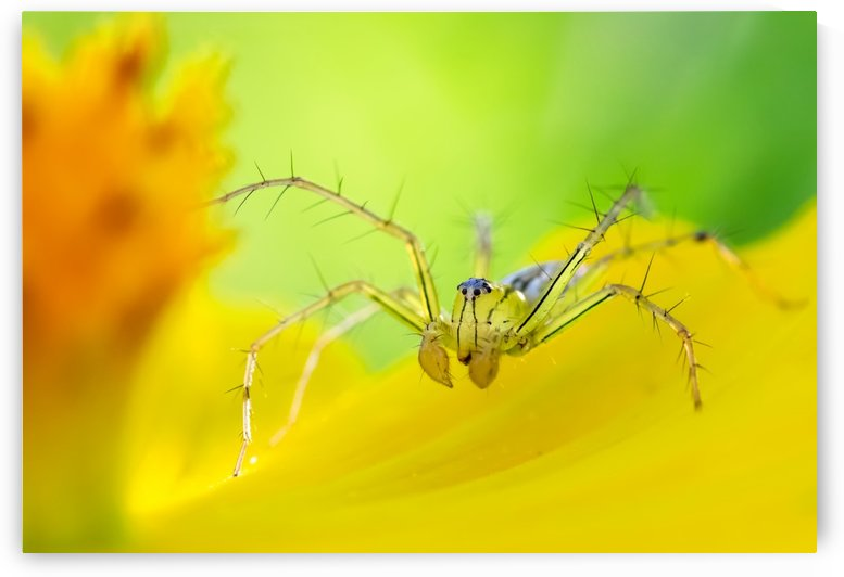 Spider on yellow flower by Krit of Studio OMG