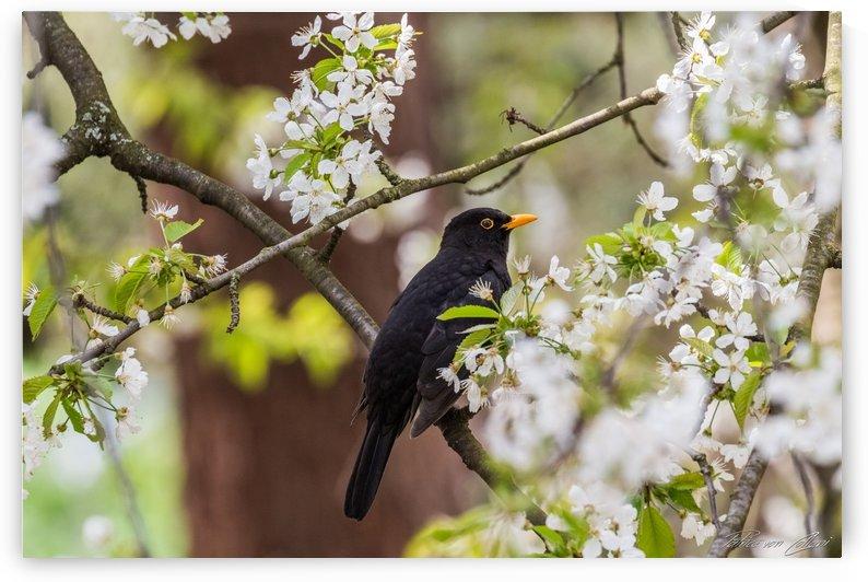 Blackbird by Patrice von Collani