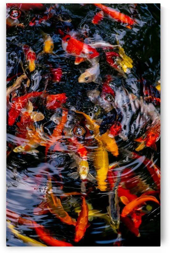 Koi carp by Krit of Studio OMG