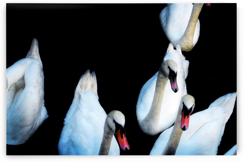 Swans in the darkness. by Verstapost