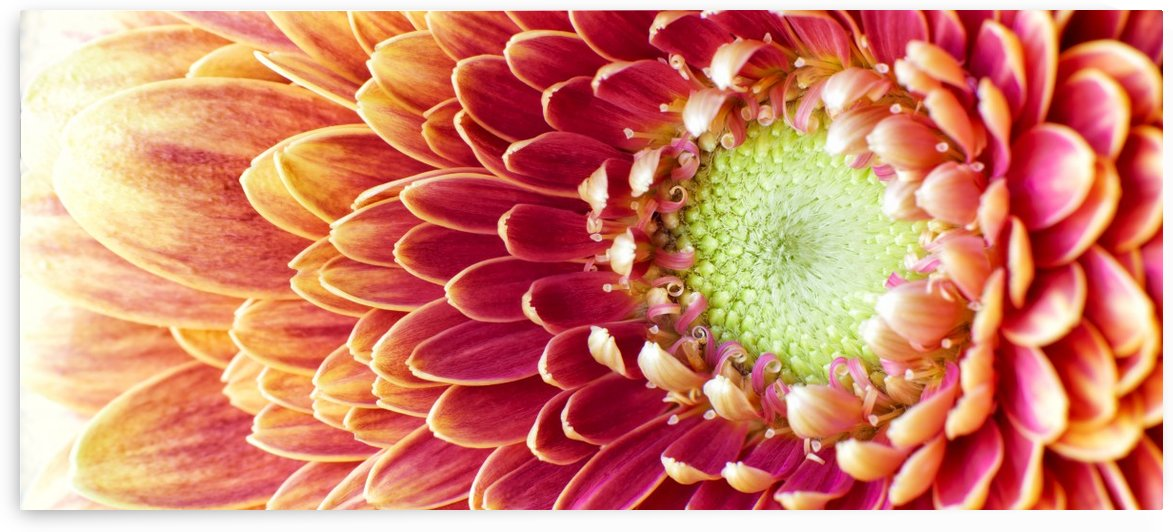 Golden Chrysanthemum by Adrian Brockwell