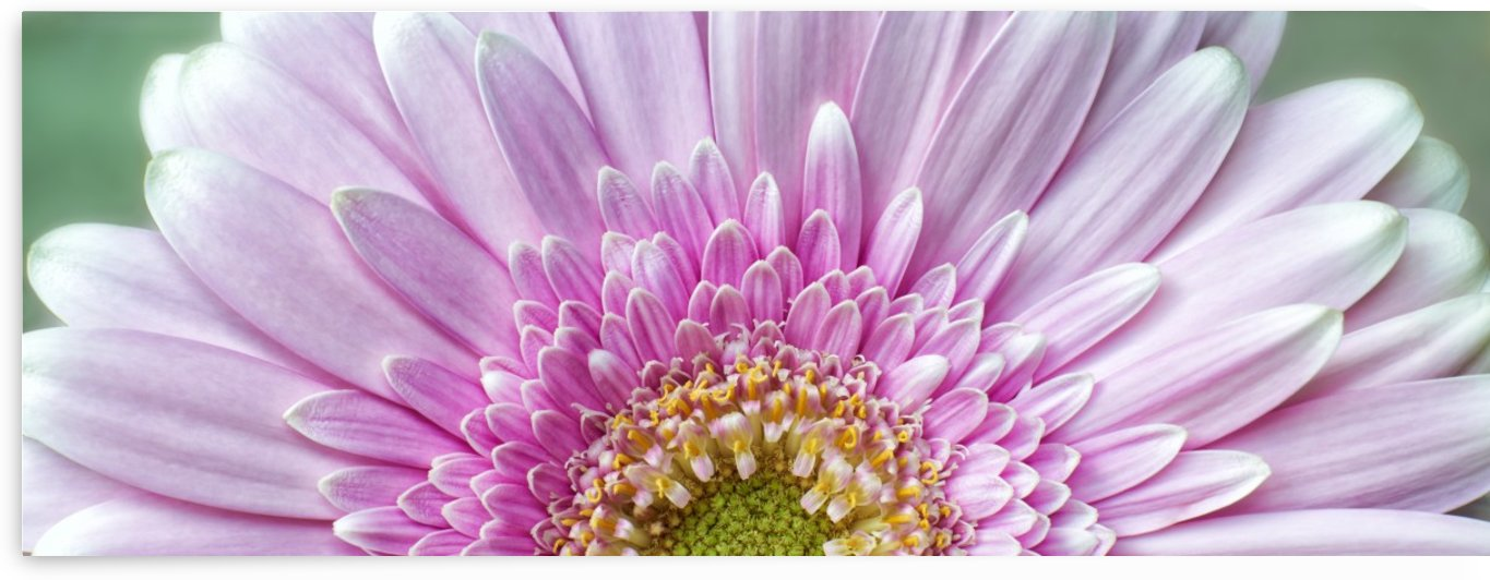 Pink Chrysanthemum by Adrian Brockwell