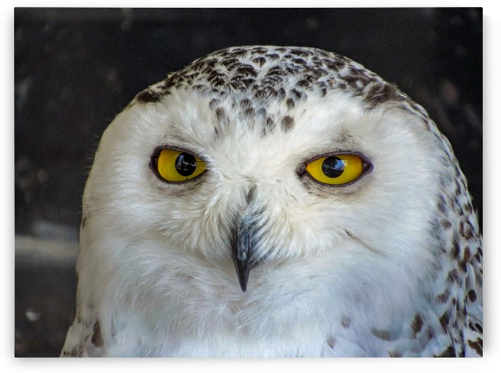 OWL by Leora J Busch