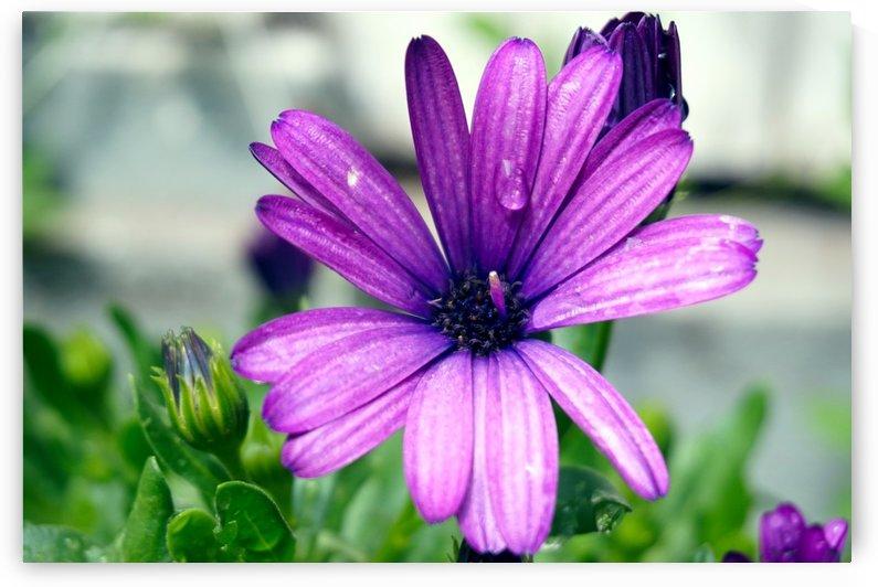 Waterdrop On Purple Flower by Nyvelius