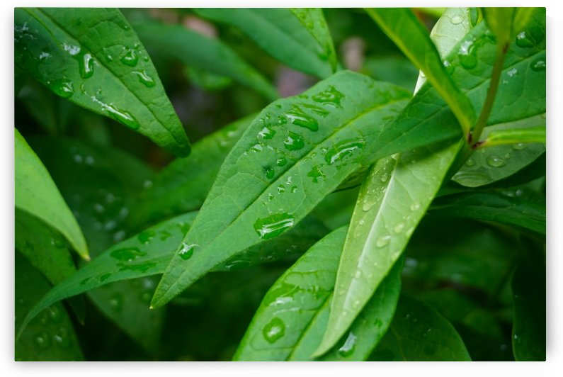 Waterdrops On Green Leaves by Nyvelius