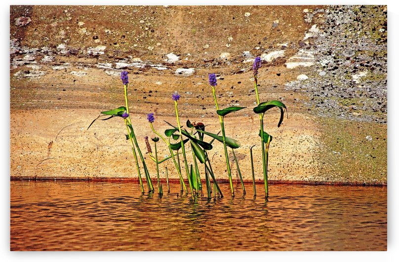 Pickerel Weed Showcased by Deb Oppermann