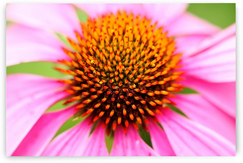 Hedgehog Coneflower by Deb Oppermann