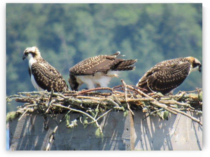 Young Osprey by Dawn Wilbur