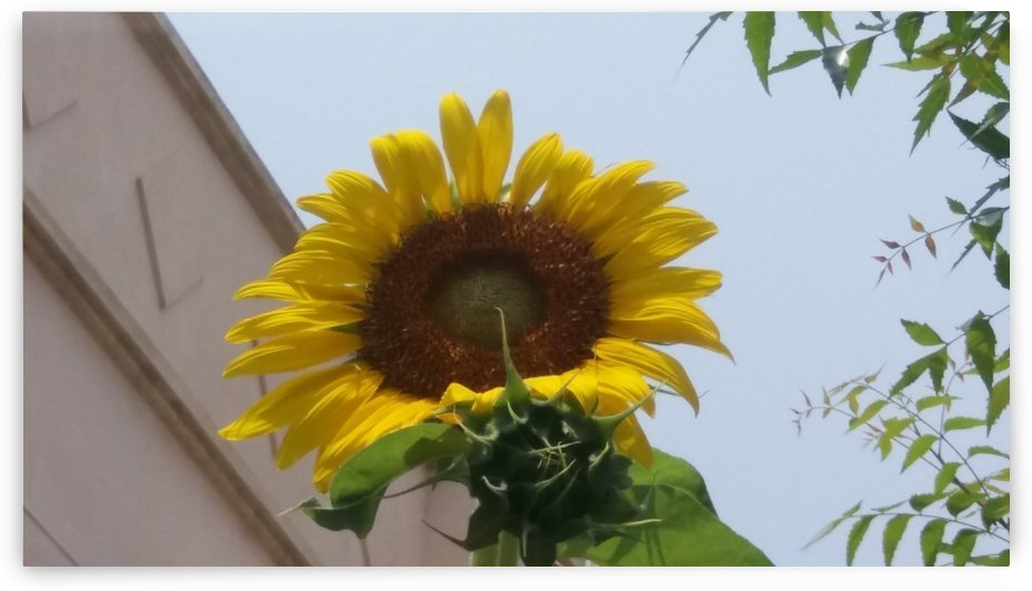 Sunflower1 by Nilu Mishra