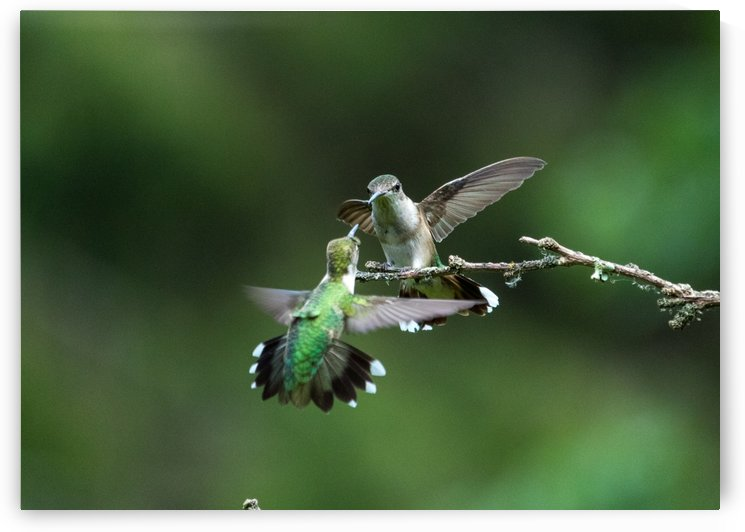 Hummingbird Battle by Heather Scully