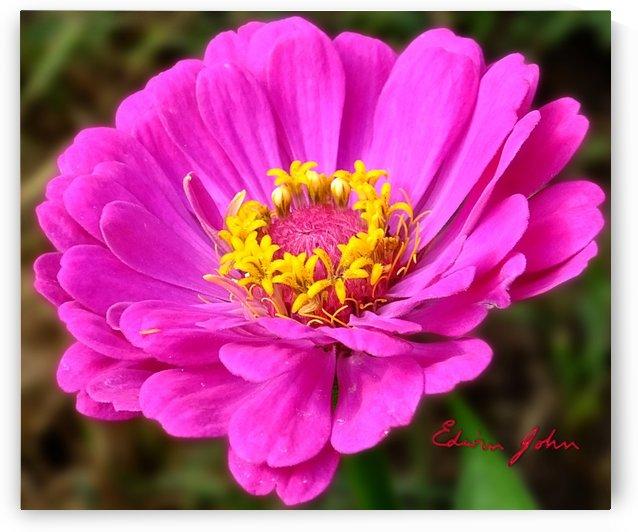 Pink Astra single flower Edwin John by Edwin John