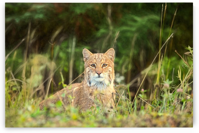 Bobcat by Michel Soucy