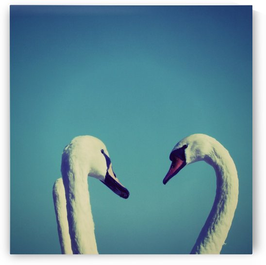 Swans by Tanya Photography