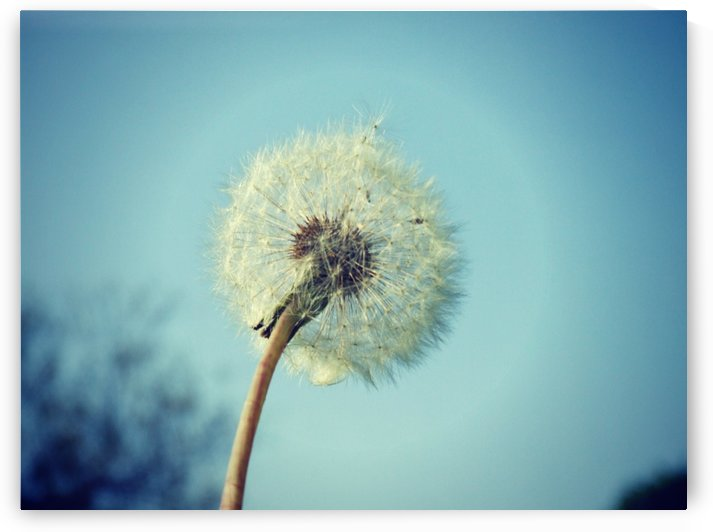 Dandelion by Tanya Photography