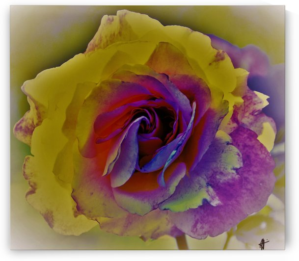 rose by Anu Hamburg