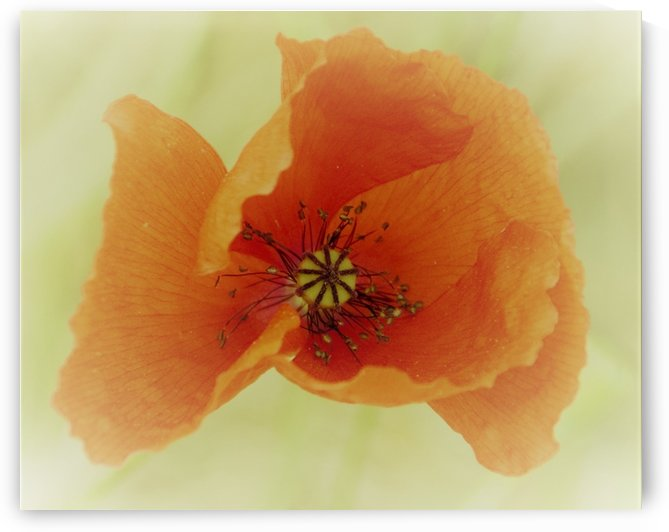 poppy by Anu Hamburg