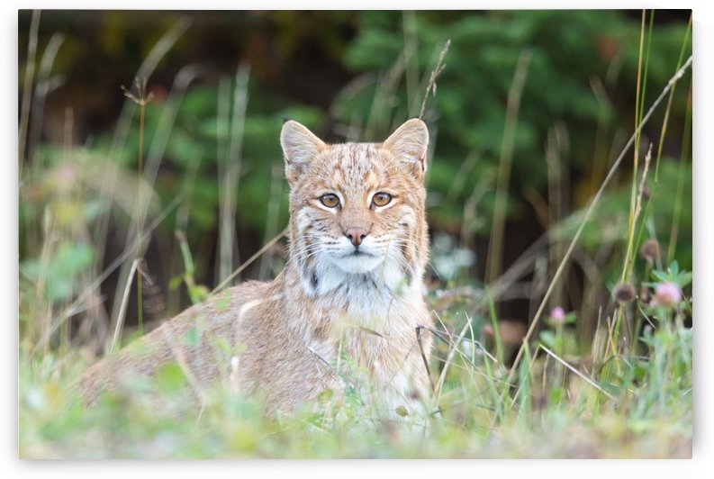 Wild Bobcat by Michel Soucy