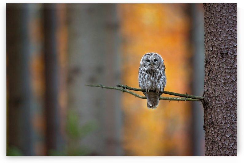 Tawny Owl by 1x
