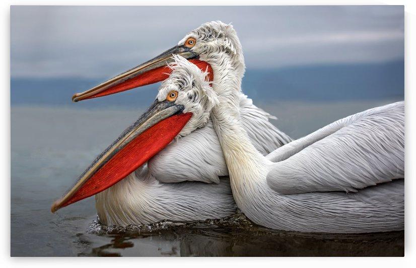 Dalmatian Pelicans by 1x