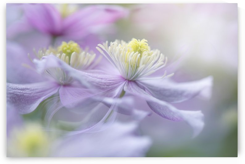 Clematis 'Mayleen' by 1x