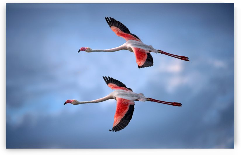 Greater Flamingos by 1x