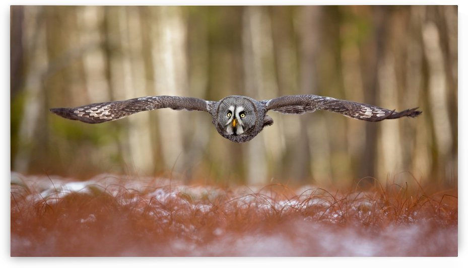 Great grey owl by 1x