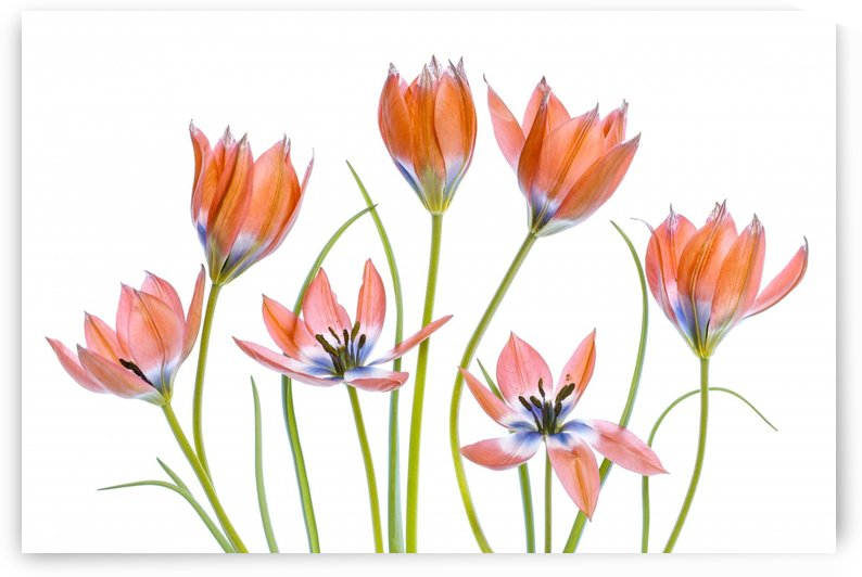 Apricot Tulips by 1x