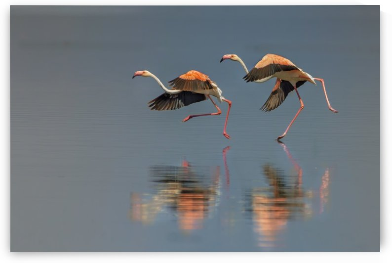 Flamingo landing by 1x