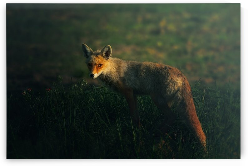 Mr.Fox by 1x