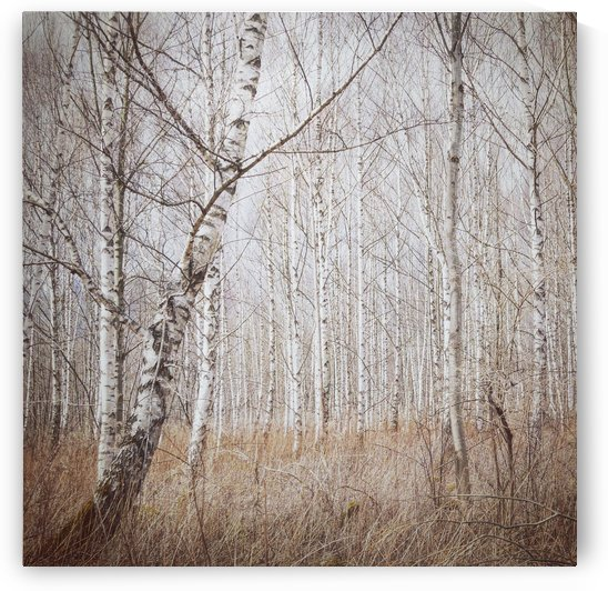 birch forest by 1x