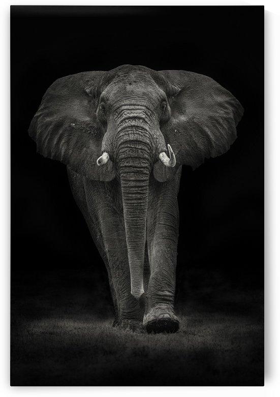 Ngorongoro Bull by 1x