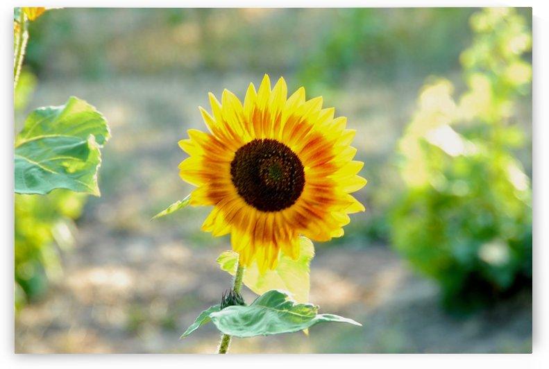 Sunflower by Robin Buckley