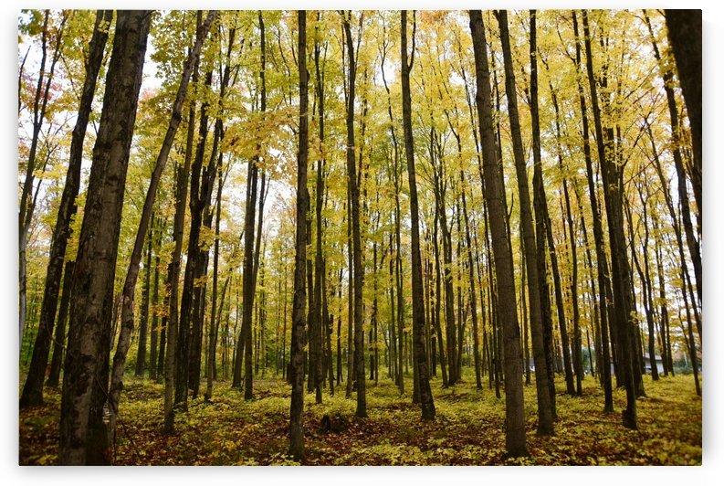 Michigan Trees  by Robin Buckley