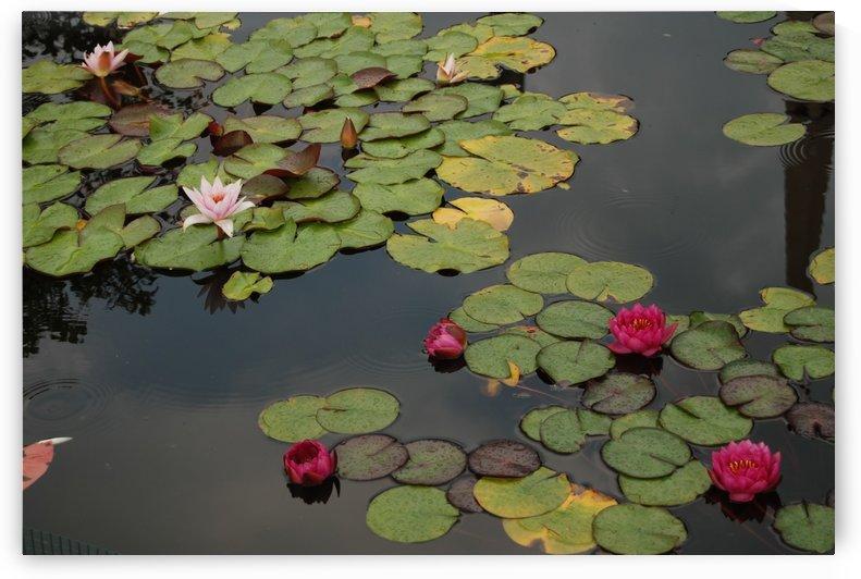 Lily Pond by Matthew Ulisse