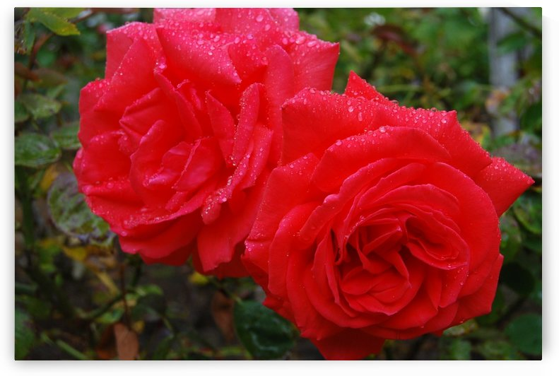 Lovers Roses by Matthew Ulisse