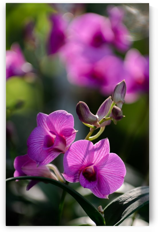 Purple orchid blossoms by Krit of Studio OMG