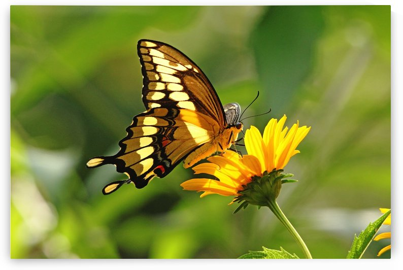 Giant Swallowtail Butterfly by Deb Oppermann