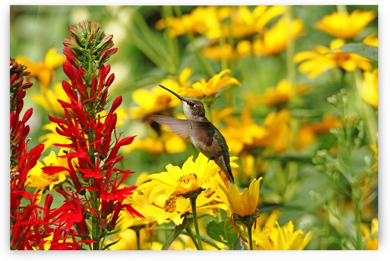 Hummers Love Red by Deb Oppermann