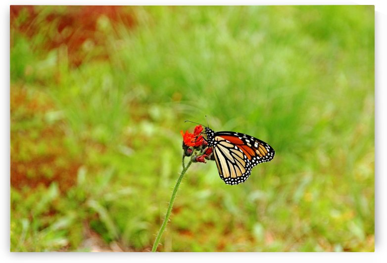 Devils Paintbrush And Monarch by Deb Oppermann