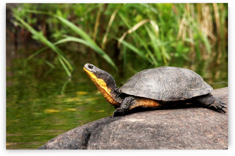 Smiling Blandings Turtle by Deb Oppermann