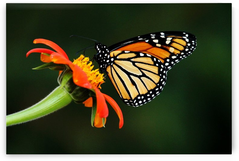 Tithonia Loving Monarch by Deb Oppermann