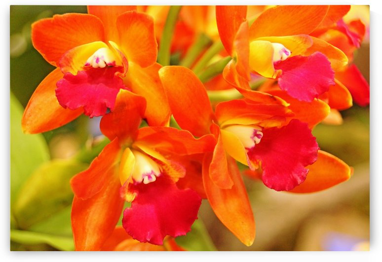 Orange Cattleya Orchid by Deb Oppermann