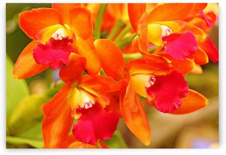 Orange Cattleya Orchid by Deb Oppermann