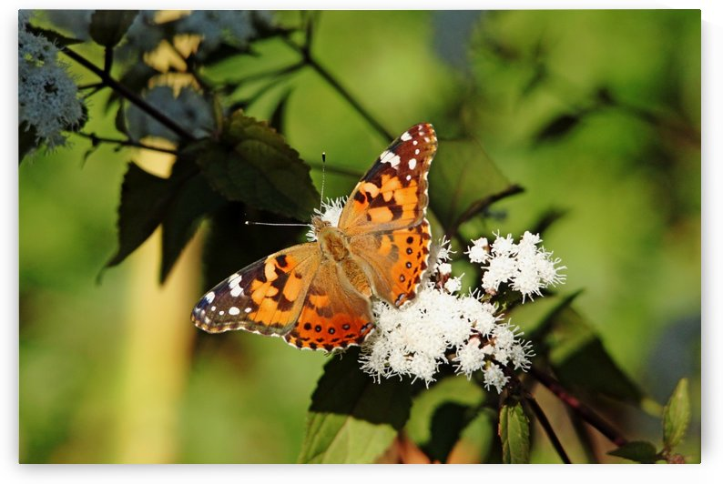 Painted Lady And Chocolate Joe Pye by Deb Oppermann