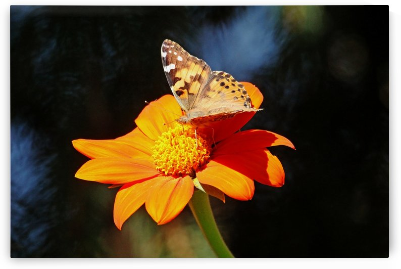 Painted Lady On Tithonia by Deb Oppermann