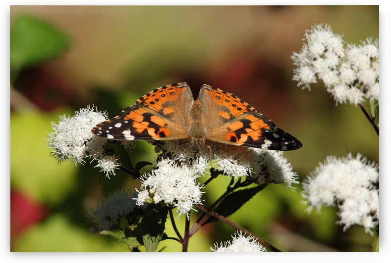 The Painted Lady by Deb Oppermann