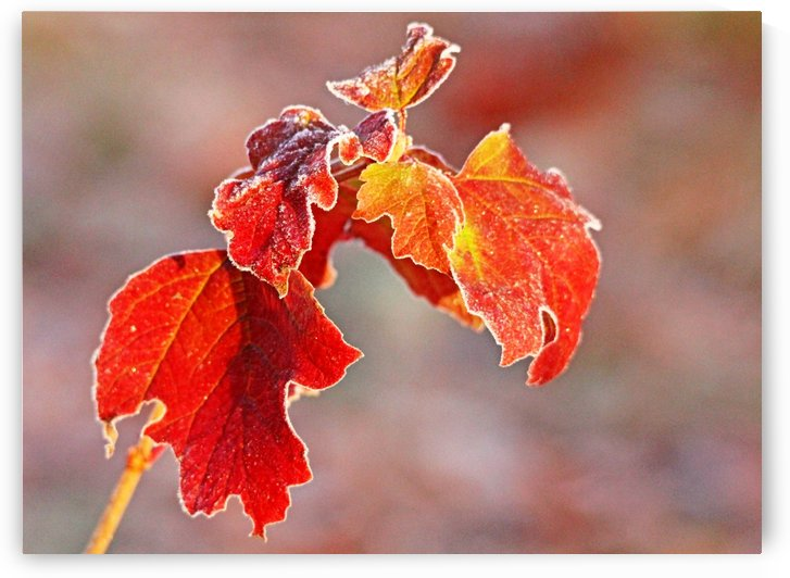 Frosty Red And Gold by Deb Oppermann